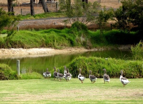 A gaggle of geese on the beautiful grounds at Cowaramup Brewery