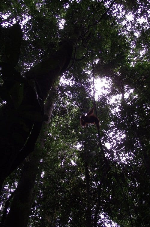 orangutan high in the trees c Sam Owen Seeking Orangutans On a Sumatran Jungle Trek