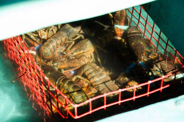 maine lobsters live