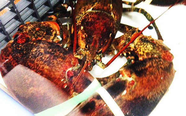 Lobsters big enough to give you nightmares in Boston. Massachusetts
